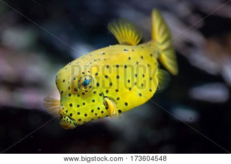 Yellow boxfish (Ostracion cubicus). Marine fish.