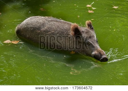 Wild boar (Sus scrofa), also known as the wild swine or Eurasian wild pig.