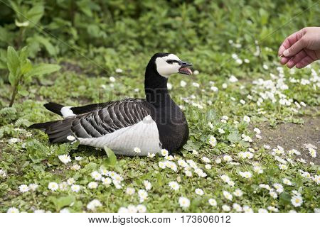Unrecognisable hand annoying a black and white barnacle goose