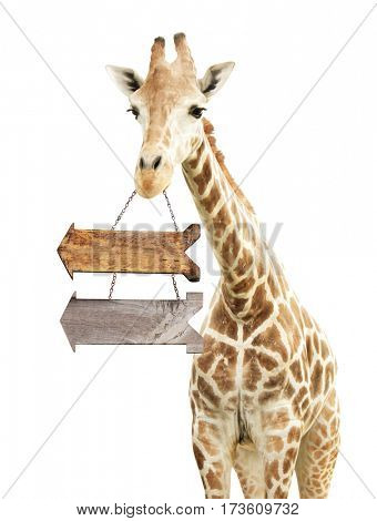 Giraffe with two wooden arrows. Isolated on white background