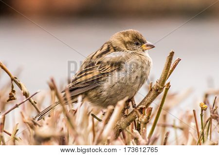 House sparrow (Passer domesticus) is a bird of the sparrow family Passeridae, found in most parts of the world.