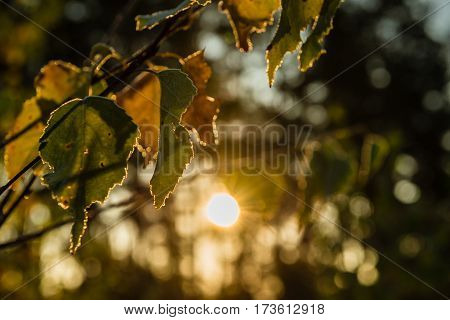 The branch of a birch tree with autumn leaves. Backlight. Small depth of field