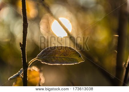 Autumn leaf covered with frost on a branch. Backlighting by the sun behind.Small depth of field