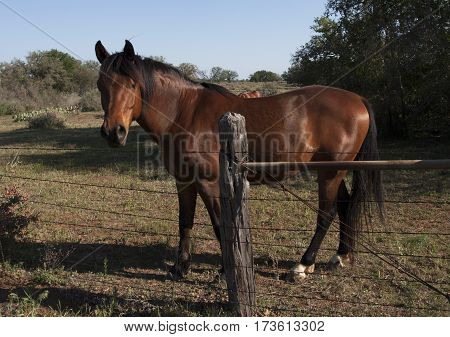 Beautiful brown horse in a Texas pasture