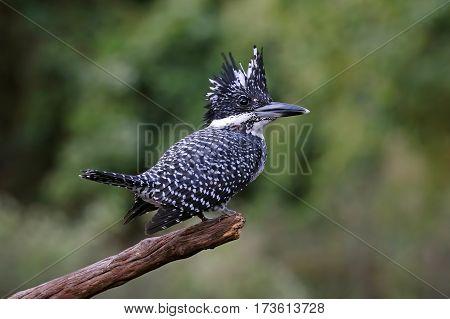 Crested Kingfisher Megaceryle lugubris Male Birds of Thailand