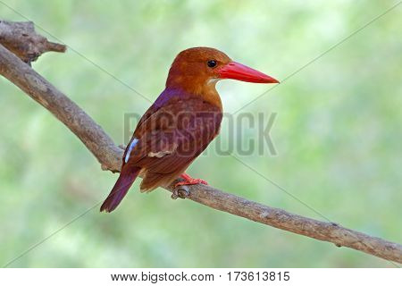 Ruddy Kingfisher Halcyon coromanda Birds of Thailand