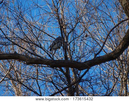 A Bard owl sits watchful from a tree branch in a thicket of trees.