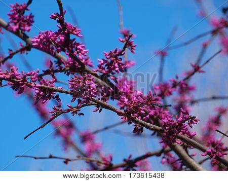 Red bud trees are in full bloom with the warmest winter ever in north Texas.