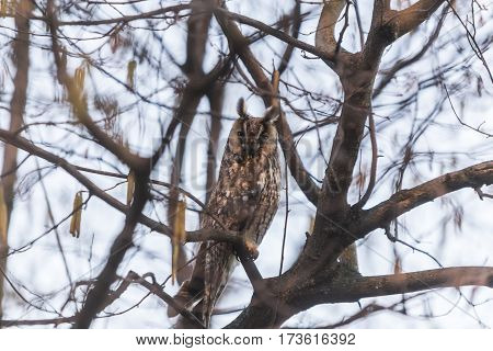 Hawk Owl resting on a branch in the forest