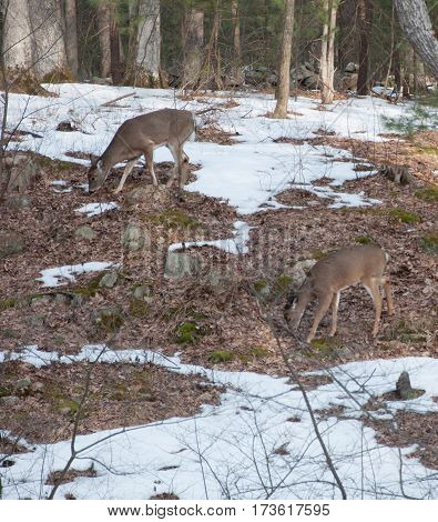 2 white tail deer in woods eating