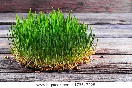 sprouted wheat on the wooden background. roots food health