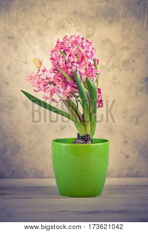 Pink fresh hyacinth in a pot. Blooming flowers. Spring time. Image toned copy space.