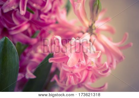 Pink fresh hyacinth close up. Blooming flowers. Spring time.