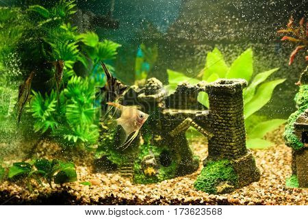 few fish angelfish in an aquarium decorated with plants and fine gravel, small decorations in the form of old ruins,