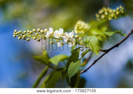 White inflorescence of bird cherry and green leaves on a branch