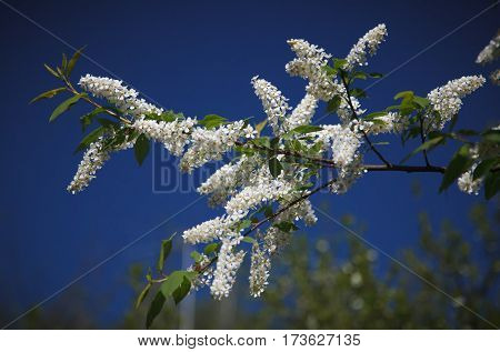 White inflorescences of a bird cherry and green leaves on a branch on a blue sky background