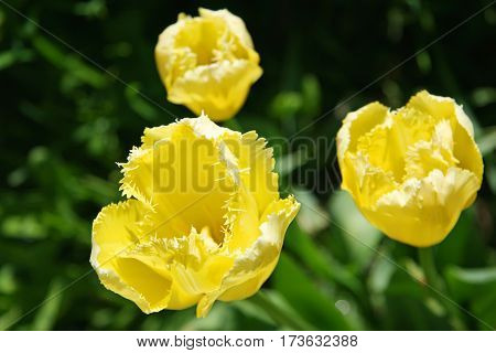 Three Yellow Curly Tulips In Spring Field