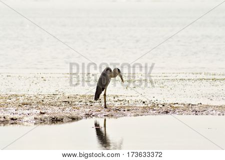Gray heron in the water on the beach of Bamburi in front of the Indian ocean