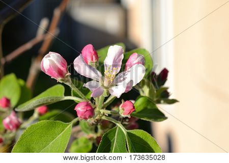 Apple blossoms blooming on a sunny late winter day