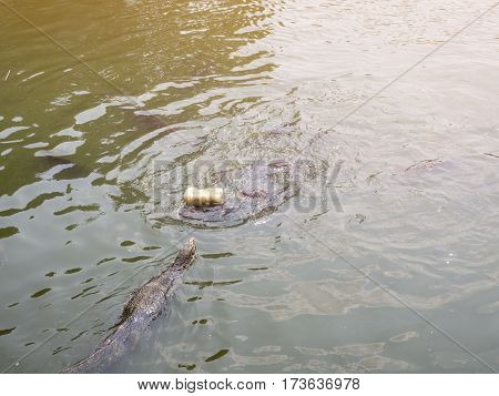 Hungry water monitor swimming to steal the bread from fish