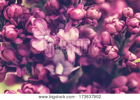 Spring blossom of lilac flowers in sunlight background