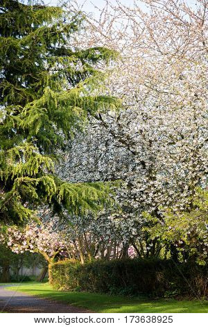 Blooming Tree Branches with Pink Flowers, Cherry Blooming, Springtime, Park in England, UK