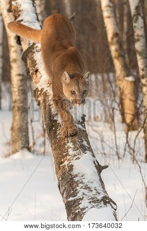Adult Female Cougar (Puma concolor) Walks Down Tree - captive animal