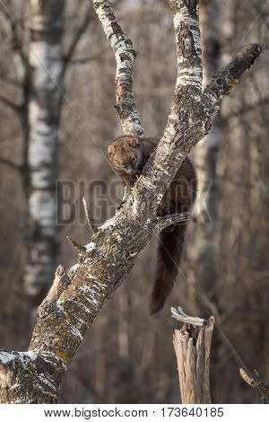 Fisher (Martes pennanti) Looks Down From Tree - captive animal