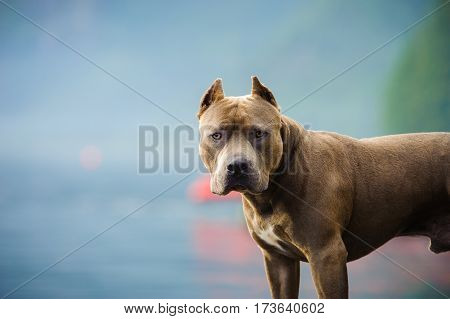 American Pit Bull Terrier with cropped ears