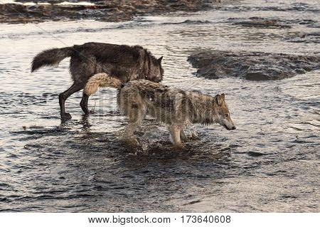 Grey Wolves (Canis lupus) Splash Right Through River - captive animals