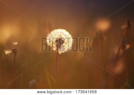 Fluffy dandelion on meadow in the evening. White dandelion in warm evening summer sunlight. Colorful summer background. White dandelion close up.