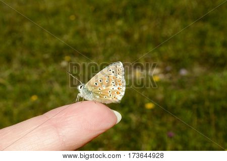 Tiny Adonis Blue butterfly, Polyommatus bellargus, perched on tip of a finger with wings closed