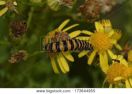 Yellow and black Cinnabar moth caterpillar on yellow ragwort flower