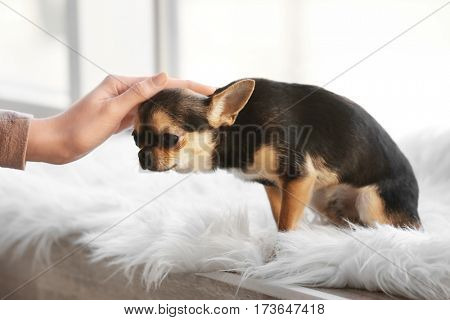 Owner stroking cute funny dog sitting on window sill covered with plaid