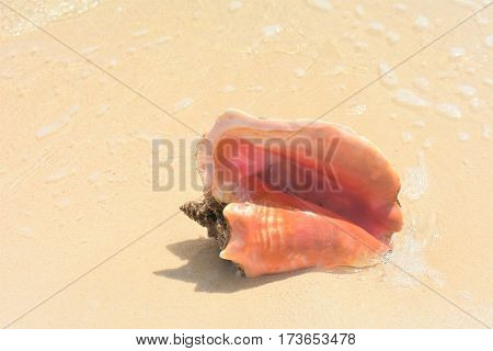 close up of conch shell on the beach