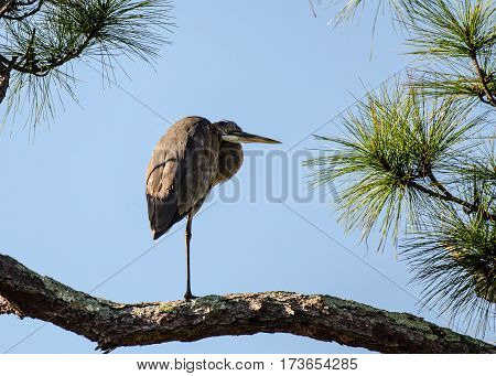 A great blue heron on one leg standing on the branch of a pine tree with green needles and blue sky
