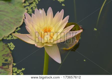 Beautiful Hardy water lily or lotus flower in pond