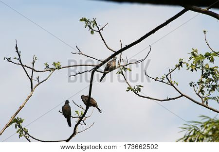 Three cute brown and grey feather birds of pigeon family