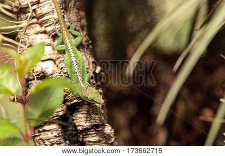 Green Anole Scientifically Known As Anolis Carolinensis