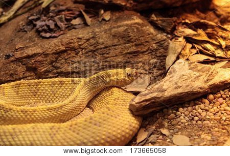 Northwest Neotropical Rattlesnake Known As Crotalus Culminatus
