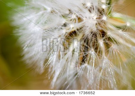 Close Up Macro Photo Of Small Dandelion Flower