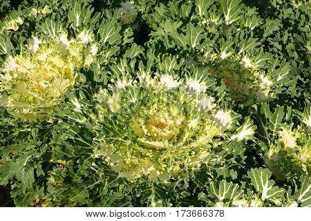 Cabbage Ornamental, Green  Color Ornamental Cabbage, Ornamental Kale