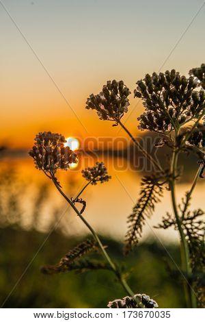 Sagebrush in sumbeams of a sunset selective focus.Backlight. Artemisia absinthium.