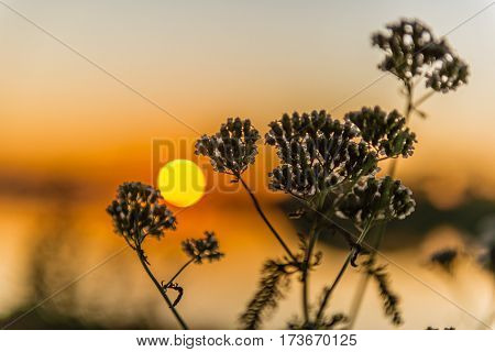 Sagebrush at sunset selective focus. Small depth of field. Backlighting by the sun behind. Artemisia absinthium.