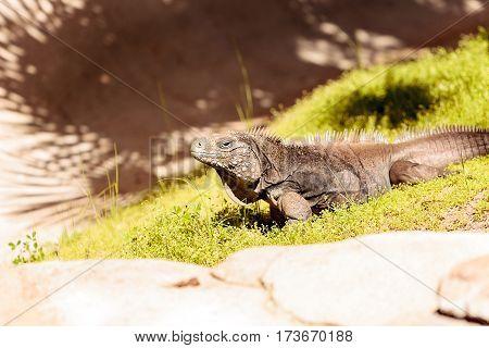 Cuban iguana known as Cyclura nubila nubile is found in dry coastal habitat in Cuba.
