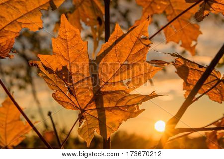 Autumn maple leaves at sunset. Backlight. Shallow depth of field.
