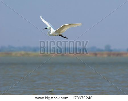 Potrait of the Ardea alba bird in low flight above water