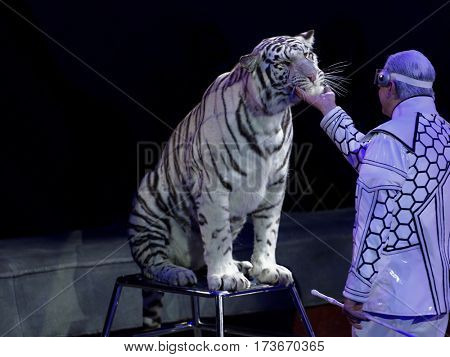 ST. PETERSBURG, RUSSIA - FEBRUARY 3, 2017: Sergey Nesterov and his trained white tigers in the dress rehearsal of the program CircUS 2.0. The program reflects the vision of circus art of XXI century