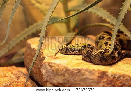 Ethiopian mountain adder known as Bitis parviocula is found in the mountains of southwest Ethiopia