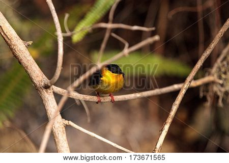 Golden Collared Manakin Known As Manacus Vitellinus